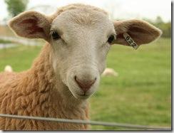 ovcica